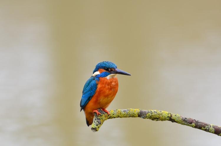 kingfisher-1352520_960_720